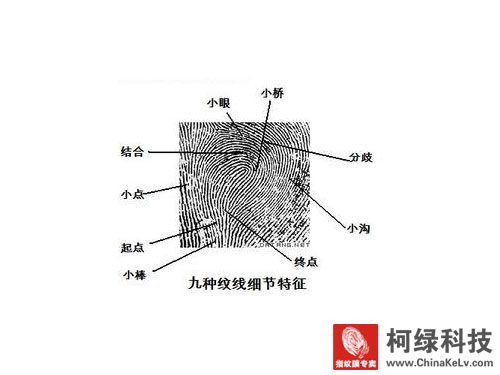 挠侧区乳突线花纹